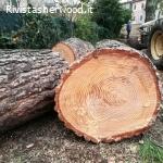 Vendo tronchi di pino abbattuti